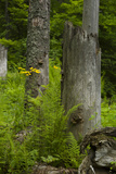 Ferns and Wildflowers Growing Among Dead and Broken Spruce Trees and Stumps Photographic Print by Norbert Rosing