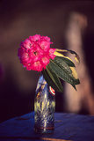 Rhododendron Flower in a Soda Bottle on a Table at Atea House Photographic Print by David Edwards
