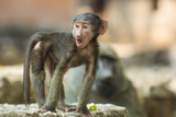 An Young Baboon with Open Mouth Looks Around Photographic Print by Tom Murphy