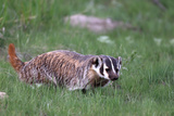 Portrait of an American Badger, Taxidea Taxus, Walking Through the Grass Photographic Print by Robbie George