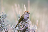 A Green-Tailed Towhee, Pipilo Chlorurus, Perches on a Branch Photographic Print by Tom Murphy