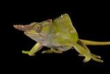 Fischer's Chameleon, Kinyongia Fischeri, at the Omaha Zoo Photographic Print by Joel Sartore