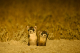 Two Black-Footed Ferrets, Mustela Nigripes, at their Burrow at Night, Displaying Eyeshine Photographic Print by Michael Forsberg