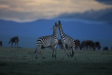 Burchell's Zebras Exchange a Greeting Ritual in the Plains of the Serengeti Photographic Print by Michael Nichols