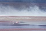 Salt Dust Shrouds James' Flamingos Foraging in Laguna Colorada Fotografisk tryk af Alex Saberi