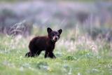 Portrait of a Black Bear Cub, Ursus Americanus, Born This Year Papier Photo par Robbie George