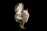 A Federally Endangered Attwater's Prairie-Chicken, Tympanuchus Cupido Attwateri Photographic Print by Joel Sartore