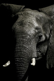 The Wrinkled Trunk and Face of an African Elephant Photographic Print by Jason Edwards