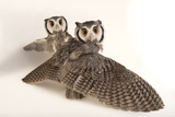 Northern White-Faced Owls, Ptilopsis Leucotis, at the Cincinnati Zoo Fotografisk tryk af Joel Sartore