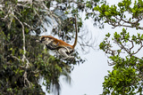 A Zanzibar Red Colobus Mother Leaps Between Canopy Trees with Her Baby in a Coral Rag Forest Photographic Print by Jason Edwards