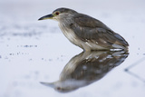 Portrait of a Juvenile Black Crowned Night Heron, Nycticorax Nycticorax Photographic Print by Michael Forsberg