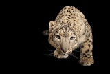 An Endangered Snow Leopard, Panthera Uncia at the Miller Park Zoo Photographic Print by Joel Sartore