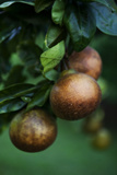 Pear Fruit Ripening on a Tree in an Orchard Overlooking the Waipi'O Valley on Hawaii Island Photographic Print by Chris Bickford
