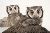 Northern White-Faced Owls, Ptilopsis Leucotis, at the Cincinnati Zoo Fotografisk tryk af Joel Sartore