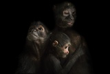 Critically Endangered Robust Black Spider Monkeys, Ateles Fusciceps Robustus Photographic Print by Joel Sartore