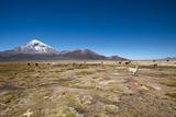 Llamas Graze Below the Sajama Volcano in Sajama National Park Photographic Print by Alex Saberi