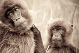 Female Gelada Baboons Stare into the Camera on the Guassa Plateau of Ethiopia Photographic Print by Robin Moore