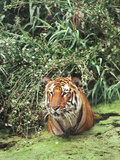 Portrait of an Endangered Bengal or Indian Tiger, Panthera Tigris Tigris, Sitting in Water Photographic Print by Thomas Nebbia