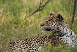 Close Up Portrait of a Leopard, Panthera Pardus, Resting, But Alert Photographic Print by Sergio Pitamitz
