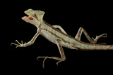 Crowned Iguana, Laemanctus Serratus, from the Omaha Zoo Photographic Print by Joel Sartore