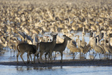 Four White-Tailed Deer Among a Flock of Migrating Sandhill Cranes Photographic Print by Michael Forsberg