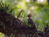 A Blond-Crested Woodpecker, Celeus Flavescens, Sits on a Branch at Sunset in Ibirapuera Park Photographic Print by Alex Saberi