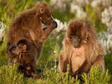 Two Adult and Two Young Gelada Baboons Sit Among Shrubs Photographic Print by Robin Moore