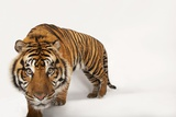 An Endangered Sumatran Tiger, Panthera Tigris Sumatrae, at the Miller Park Zoo Photographic Print by Joel Sartore