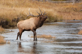 A Bull Elk Stands in the Madison River Sniffing the Air Photographic Print by Tom Murphy