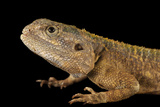 A Blue-Headed Tree Agama, Acanthocercus Atricollis, from the Omaha Zoo Photographic Print by Joel Sartore