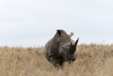 A White Rhinoceros, Ceratotherium Simum, Walking in a Landscape of Tall Grass Photographic Print by Sergio Pitamitz