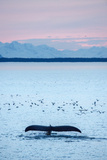 A Humpback Whale, Megaptera Novaeangliae, Diving Near a Flock of Birds at Sunset Photographic Print by Jonathan Kingston