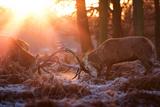 Backlit View of Two Red Deer Stags Battling at Sunrise Fotografisk tryk af Alex Saberi