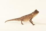 Plated Leaf Pygmy Chameleon, Brookesia Minima, at the Omaha Zoo Photographic Print by Joel Sartore