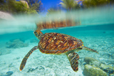Swimming with Green Sea Turtles at the Le Meridien Resort Photographic Print by Mike Theiss