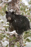 A Black Bear Cub Sits on a Snow Covered Tree Branch Looking Around Reproduction photographique par Tom Murphy