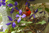 A Male Northern Cardinal, Cardinalis Cardinalis, at its Nest with Chicks in a Clematis Vine Photographic Print by Michael Forsberg