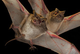 A Pair of Naked Tailed Bats Collected from Chitengo Camp in Gorongosa National Park Photographic Print by Joel Sartore