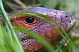 The Red Scaled Head of a Northern Caiman Lizard Hunting in Reeds Beside a River Photographic Print by Jason Edwards