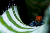 A New Color Morph of the Amazon Dart Frog Makes its Home in a Bromeliad Where it also Breeds Photographic Print by Jason Edwards