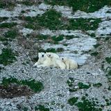 Polar Bears, Ursus Maritimus, on Akpatok Island Photographic Print by Kike Calvo