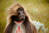 Portrait of a Male Gelada Baboon, Theropithecus Gelada, on the Guassa Plateau, Ethiopia Photographic Print by Robin Moore