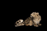 An Endangered Snow Leopard, Panthera Uncia, at the Miller Park Zoo Fotografisk trykk av Joel Sartore