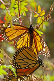 A Pair of Monarch Butterflies Mating Photographic Print by Medford Taylor