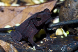 A Burgundy Velvet Crested Forest Toad Standing Amongst the Leaf Litter on the Rainforest Floor Photographic Print by Jason Edwards