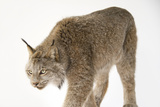 A Federally Threatened Canada Lynx, Lynx Canadensis, at the Point Defiance Zoo and Aquarium Photographic Print by Joel Sartore