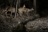 A Group of White-Tailed Deer at a Woodland Stream, Caught by Camera Trap at Night Photographic Print by Michael Forsberg