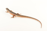 Yellow-Throated Plated Lizard, Gerrhosaurus Flavigularis, at the Omaha Zoo Photographic Print by Joel Sartore