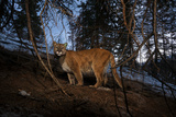 A Camera Trap Captures a Cougar in Wyoming's Gros Ventre Wilderness Area Photographic Print by Steve Winter