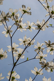 A Dogwood Tree Blossoming in Spring Fotografisk tryk af Tom Murphy